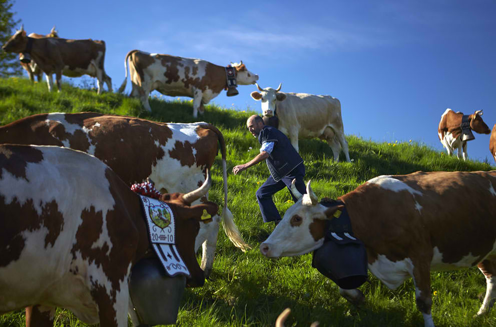 Milk cows are gathered before departure to pasturelands