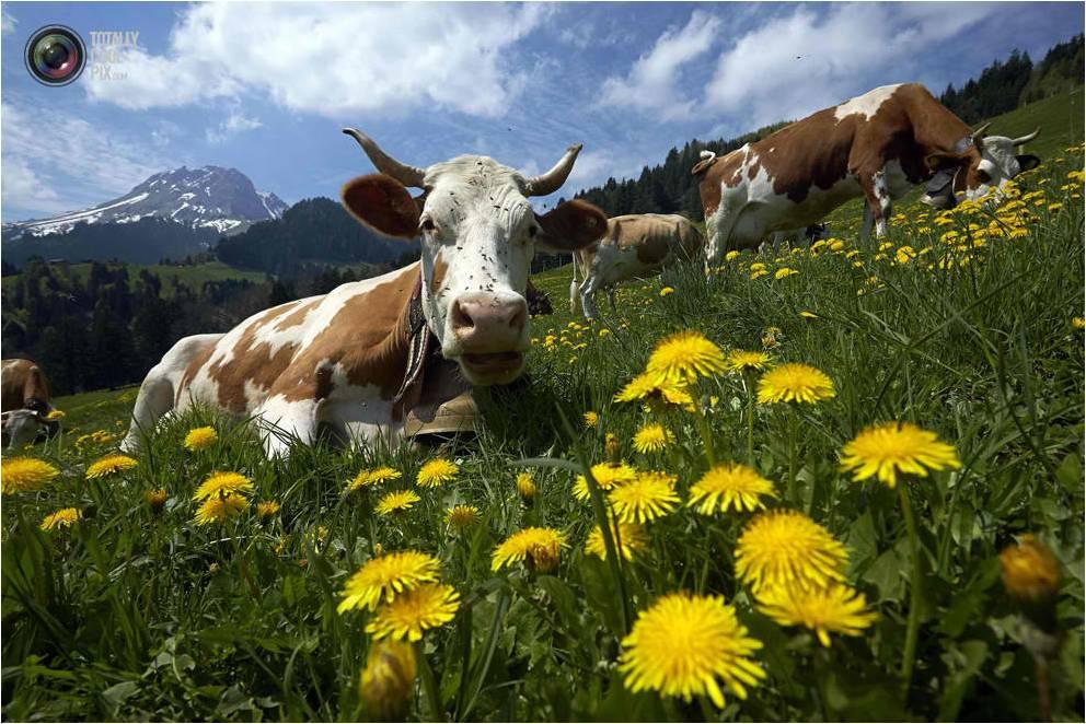 Milk cow lying down on a dandelion field