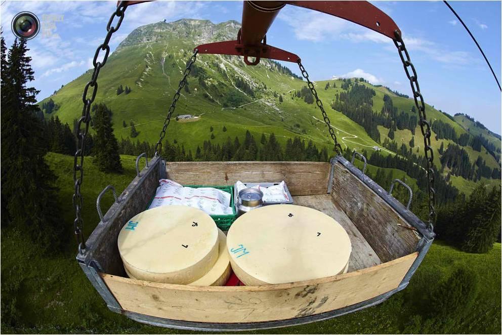 Cheese wheels sent to ripening cellar