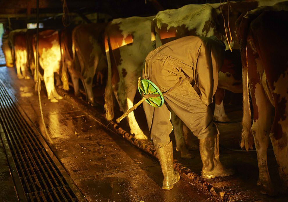 Farmer milking a cow