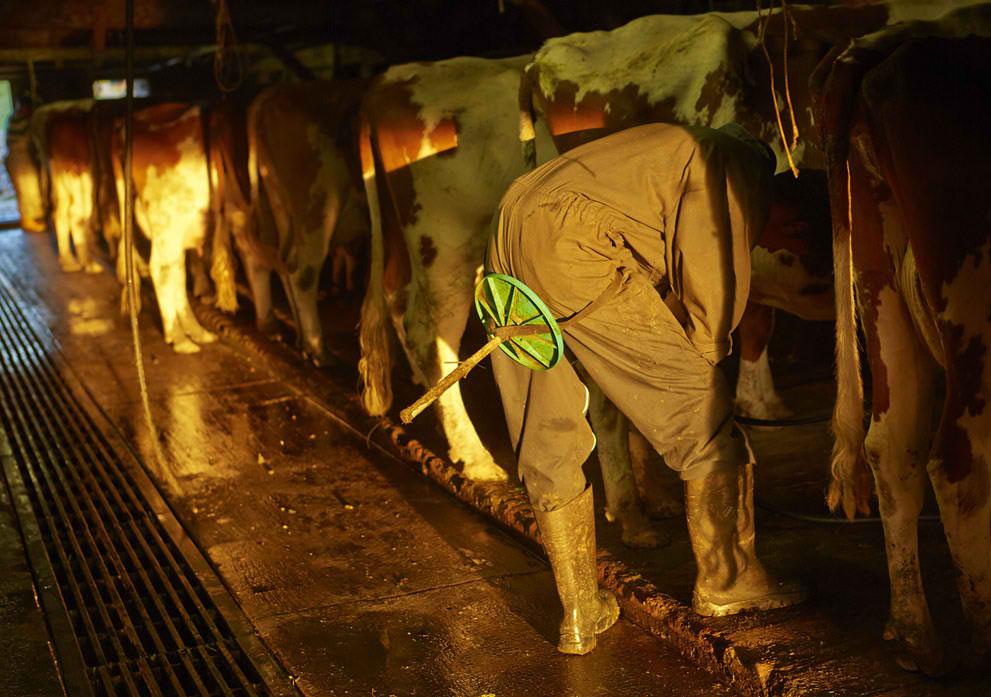 traite vaches étables
